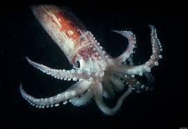 Squid...